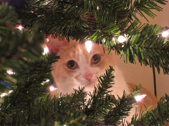 Beige and white cat peeking through Christmas tree branches