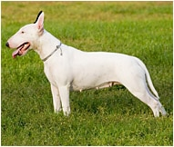 The Bull Terrier Dog Breed