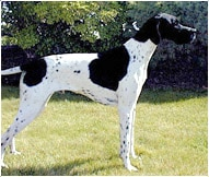 The English Pointer Dog Breed