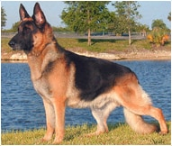 The German Shephard Dog Breed
