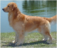 The Golden Retriever Dog Breed