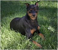 The Miniature Pinscher Dog Breed