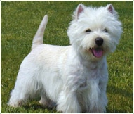 The West Highland White Terrier Dog Breed