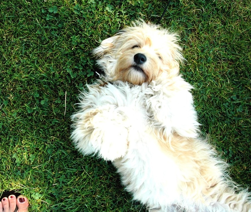 Shaggy dog lying on his back in the grass expecting a belly rub.