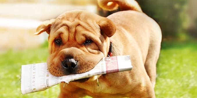 A brown Shar-Pei puppy fetches a newspaper.
